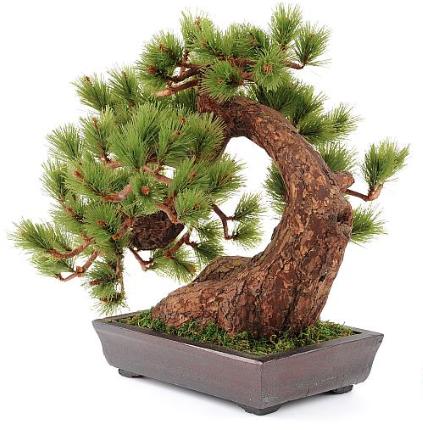 drzewko-bonsai